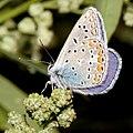 Polyommatus.icarus.6993.jpg