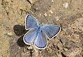 Polyommatus bellis antiochena - Hatay'ın Çokgözlü Güzelmavisi 10.jpg
