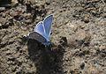 Polyommatus cornelius - Çokgözlü Küçük Turanmavisi 10.jpg