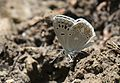 Polyommatus dorylas - Turkuvazmavisi 01-1.jpg
