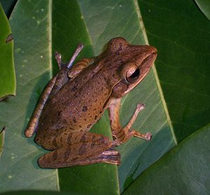 Common tree frog - Adult at Darmaga (Bogor Regency, West Java, Indonesia)