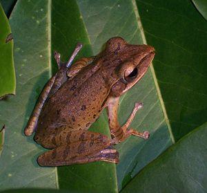 Polypedates leucomystax from Darmaga, Bogor, W...