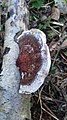 Polypore du bouleau (Fomitopsis betulina).jpg