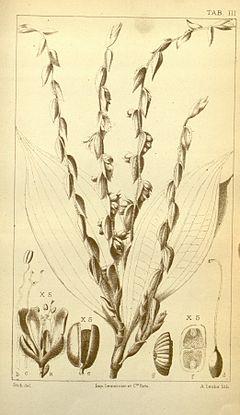 Polyspatha paniculata CB Clarke Monographiae Phaneorogamarum Tab 3.jpeg
