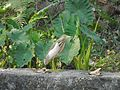 Pond heron in Surkhet.jpg