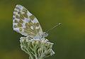 Pontia edusa - Eastern Bath White butterfly 1.jpg