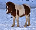 Pony foal at Harrowbeer.jpg
