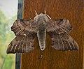 Poplar Hawk-moth Loathoe populi (45863701761).jpg