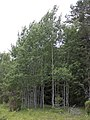 Populus tremula Simo, Finland 22.06.2013.jpg