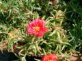 Portulaca grandiflora2.jpg