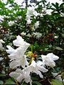 Průhonice, zámecký park, kvetoucí rododendron bílý.jpg