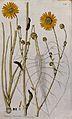 Prairie burdock (Silphium terebirthinaceum); sections of the Wellcome V0042867.jpg