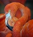 Pretty Flamingo (30795744461).jpg