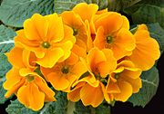 The carotenoids in primrose produce bright red, yellow and orange shades.