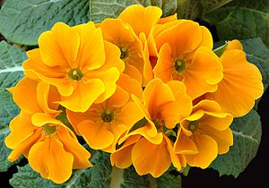 Over 500 species comprise the genus Primula; t...