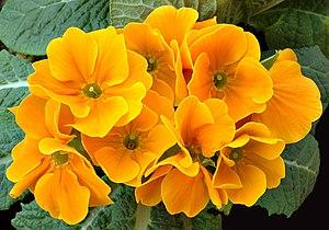 Primula hortensis - Image: Primula aka