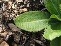 Primula denticulata leaf.JPG