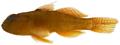 Priolepis hipoliti - pone.0010676.g177.png