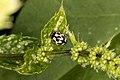 Propylea quatuordecimpunctata (20107484618).jpg