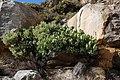 Protea recondita tonyrebelo iNat 11309918.jpg