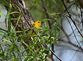 Prothonotary Warbler (34793799816).jpg