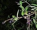 PrunusSpinosaHalternSett200.jpg