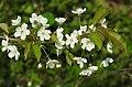 Prunus avium RF.jpg