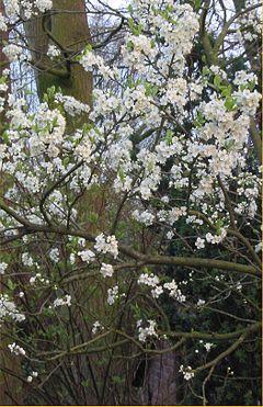 Prunus_domestica
