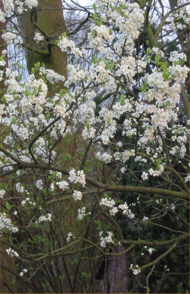 File:Prunus domestica pruim 'Opal' tak.jpg