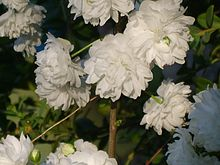 Prunus glandulosa for. albiplena 02.JPG