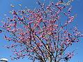 Prunus persica in April in Rome 01.JPG