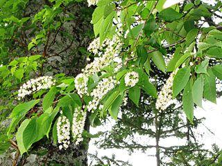 <i>Prunus ssiori</i> species of plant