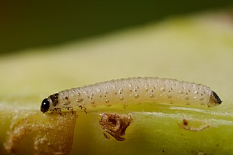 Psylliodes chrysocephala larva (31570869550).jpg