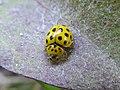Psyllobora vigintiduopunctata Levico 03.jpg