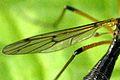 Ptychoptera.minuta9.-.lindsey.jpg