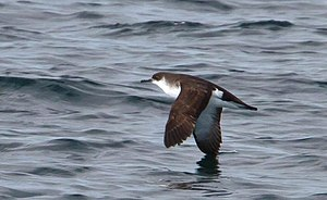 Manx shearwater - Flying in Iceland