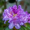Purple Rhdodendron (18563670270).jpg
