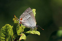 Purple hairstreak (Neozephyrus quercus) female underside.jpg