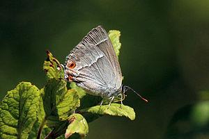 Purple hairstreak - Female underside Whitecross Green Wood, Oxfordshire