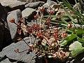 Pygmy rockjasmine, Androsace septentrionalis (25950366570).jpg