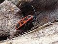 Pyrrhocoris apterus Paludi 01.jpg