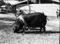 Queensland State Archives 1692 Champion Wessex Saddleback sow Royal National Association Exhibition 1951.png