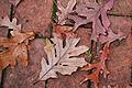 Quercus alba fallen-leaves brick.jpg