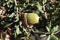 Quercus dumosa.jpg