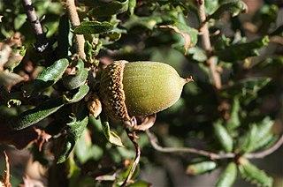 <i>Quercus dumosa</i> Species of oak tree