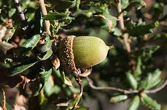 Quercus dumosa - Image: Quercus dumosa