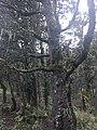 Quercus semecarpifolia 09.jpg