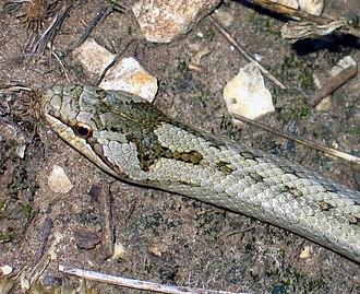 Smooth snake - Image: Rézsikló (Coronella austriaca) feje