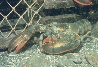 Lobster fishing - Homarus americanus (American or Maine lobster)