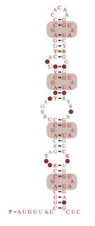 Coronavirus packaging signal Regulartory element in coronaviruses